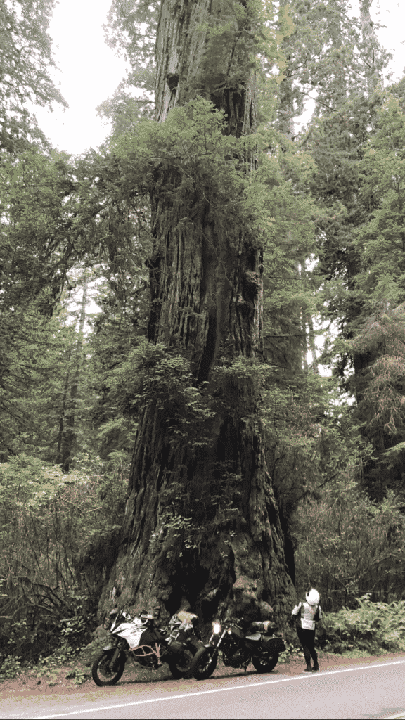 Giant redwood tree dwarfs our little motorcycles