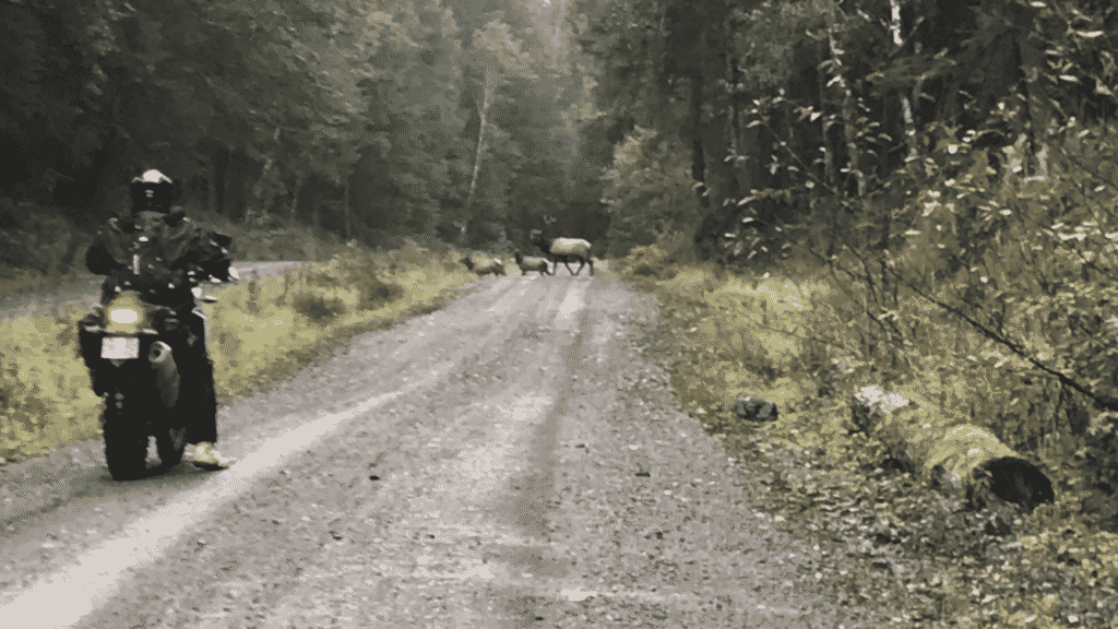 We stopped to let a large bull elk lead his small harem across a gravel trail on northern Vancouver Island, British Columbia